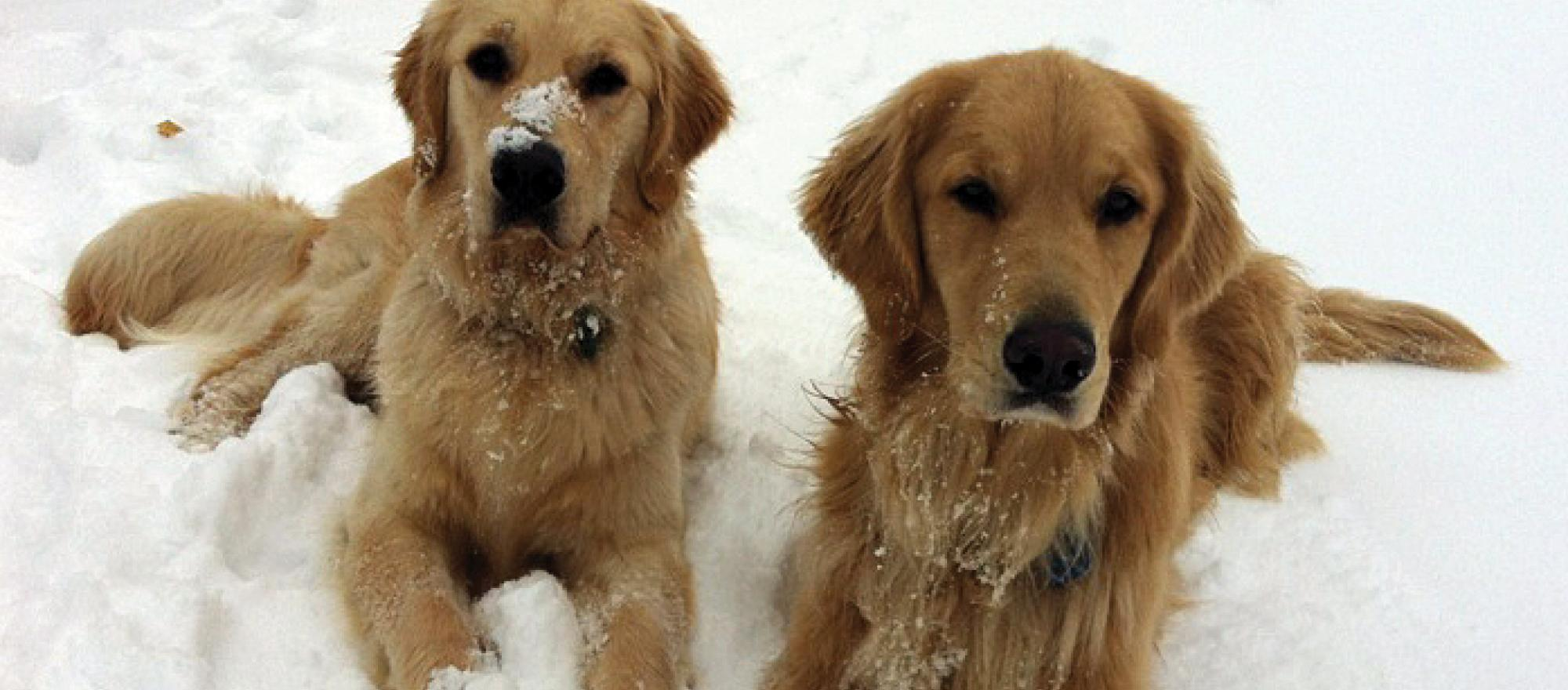 Miles and Louie Mesinger of Mesinger Jet Sales are both participating in the MAF Golden Retriever Lifetime Study.