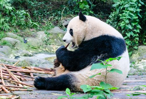 Chengdu Breeding Center and Panda Preserve