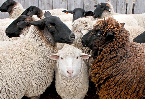 A  mob of sheep.